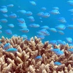 Learn how you can help preserve the coral reefs of Fiji.